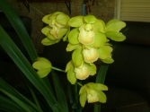Cymbidium One Tree Hill 'Doris'